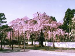 醍醐寺・しだれ桜「土牛の桜」